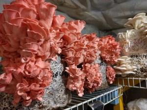 kırmızı istiridye mantar özel siparişle kompost ekimi yapılmaktadır.