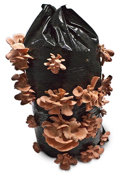 pembe yada kırmızı istiridye mantarı üretimi kolay lezzeti farklıdır