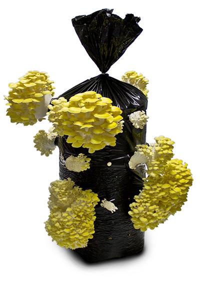 sarı istiridye mantarı yada alıtın istiridye mantarı diyede bilinir
