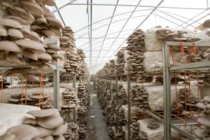 istiridye mantarı yetiştirme ve üreticiliği