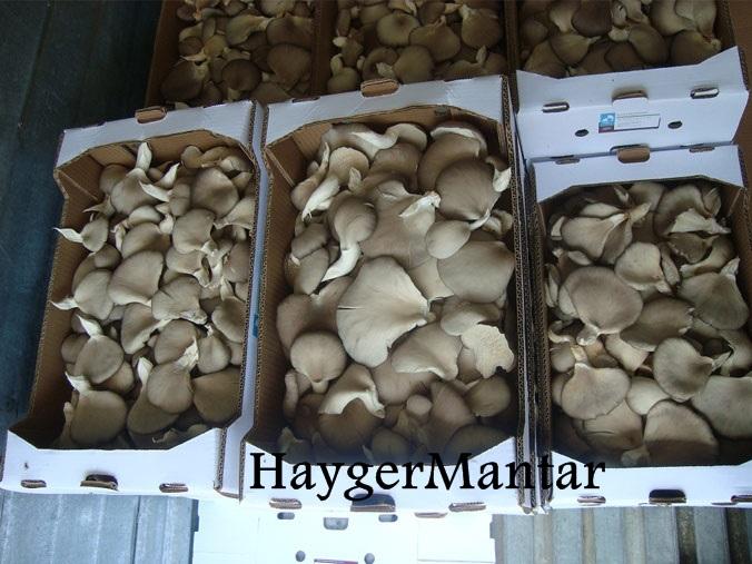 İstiridye mantarı ihracatı nasıl yapılır?