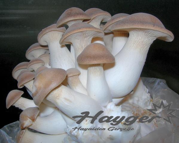 kral istiridye mantarı adı üstünde kralların yediği lezzetli bir mantar türüdür.