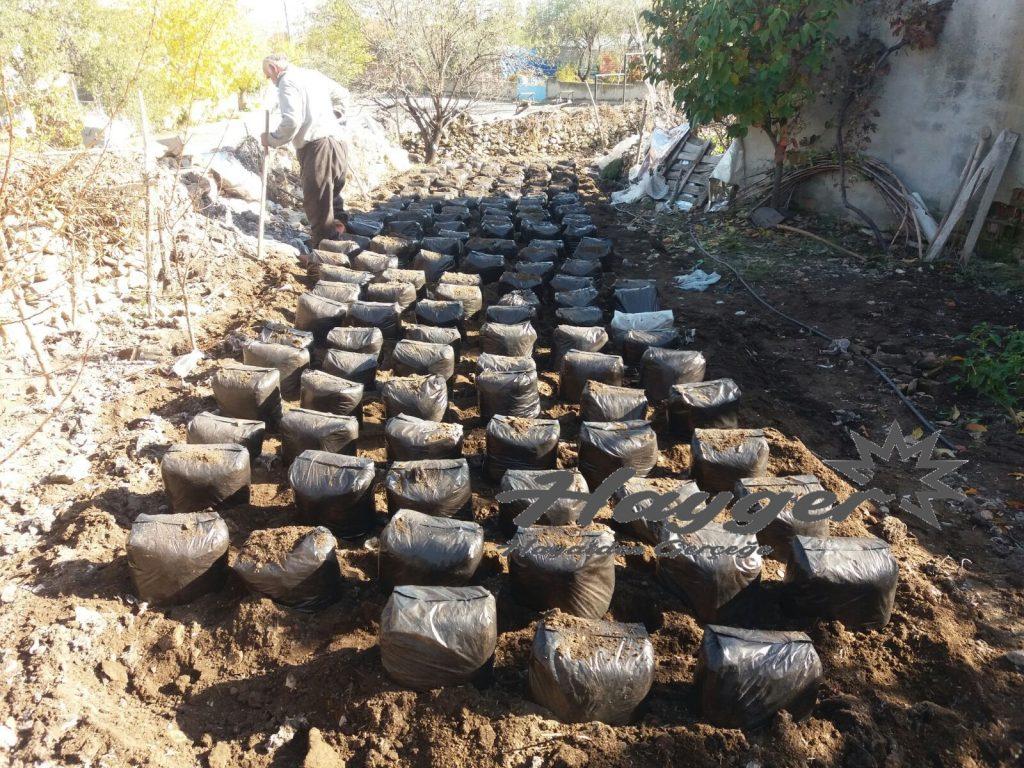 özel hazırlanmış kompostlarda istiridye mantarı üretimi