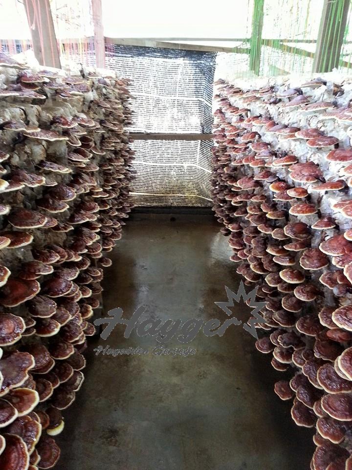 Reishi Mantarı , Ganoderma lucidum yetiştirme yerleri nereleridir